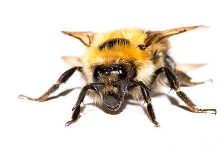Bumblebee isolated