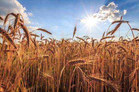 Grain and sun photo