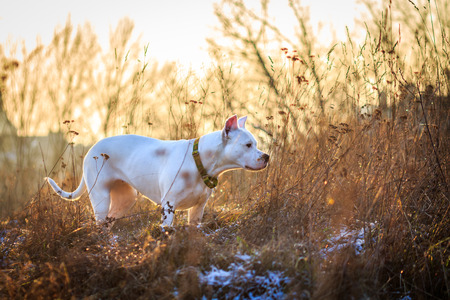 argentino: Dogo argentino in the meadow
