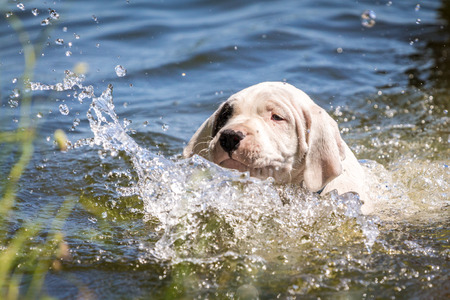 Puppy learning to swim Stock Photo
