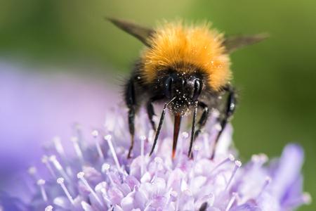 Bumblebee sitting on purple flower on green background