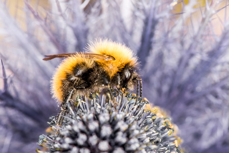 Bumblebee sitting on purple flower on purple-blue background