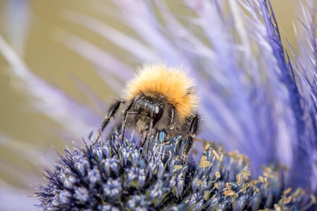 Bumblebee sitting on purple flower