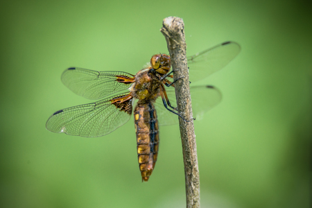 Dragonfly - Broad-bodied Chaser - female of Libellula depressa - close up.
