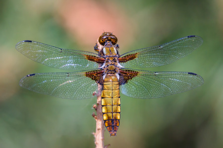 Dragonfly - Broad-bodied Chaser - male of Libellula depressa - close up - top view.