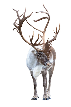 Reindeer with huge antlers isolated on white background - front view.