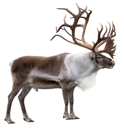 Reindeer with huge antlers isolated on white background - side view.