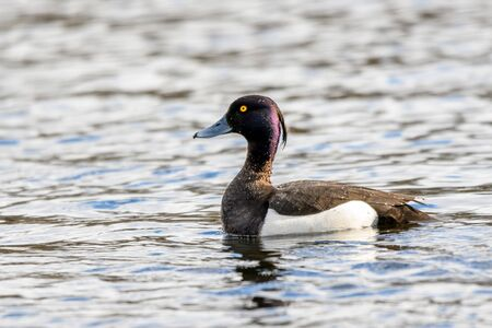 Small, black and white, diving duck  with yellow eyes and blue beak. The Tufted Duck - Aythya Fuligula - male