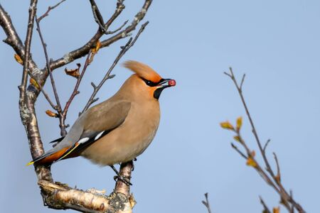 Bohemian Waxwing - Bombycilla Garrulus - bird with mohawk