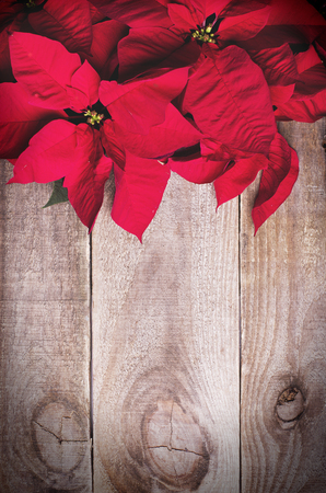 Red poinsettia Christmas flower on wooden background.