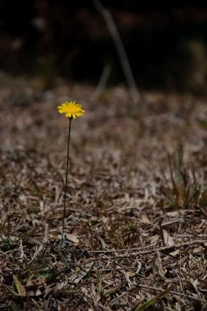 fescue: dandelion yellow