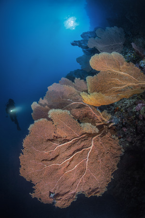 gorgonian: diver and gorgonian fan