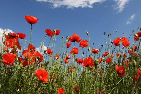 field of corn poppy flowers: corn poppy