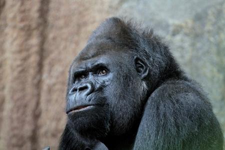 apes: mountain gorilla