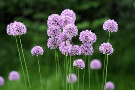 lila: allium