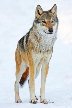 늑대 스톡 콘텐츠 - 11172965