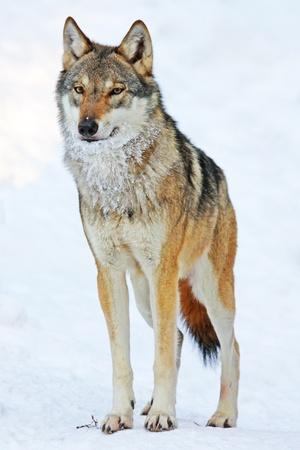 늑대 스톡 콘텐츠 - 11172967