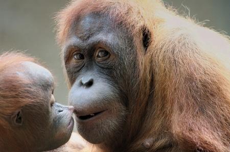 the orangutan Stock Photo