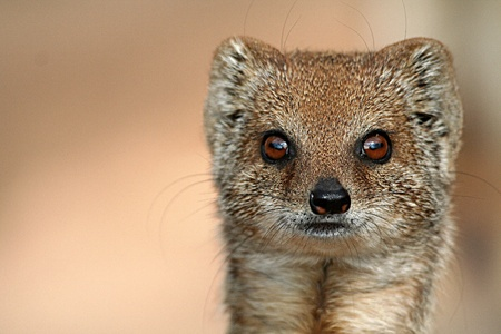 yellow mongoose photo