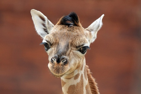 retrato de una jirafa joven