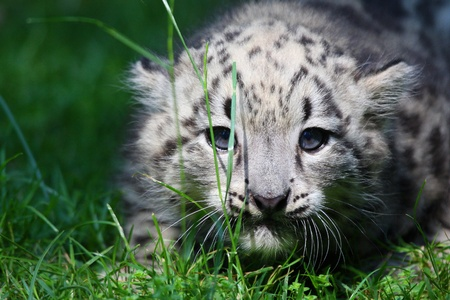 cuteness: young snow leopard