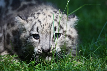 snow leopard: young snow leopard