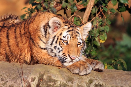 tiger Stock Photo - 11718623