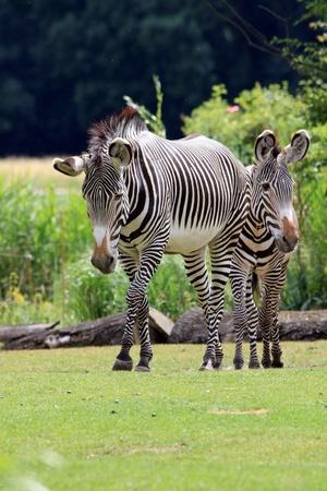 nostril: grevy zebra