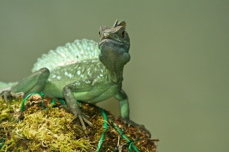 vittatus: green basilisk  Stock Photo