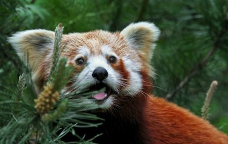 fire fox photo