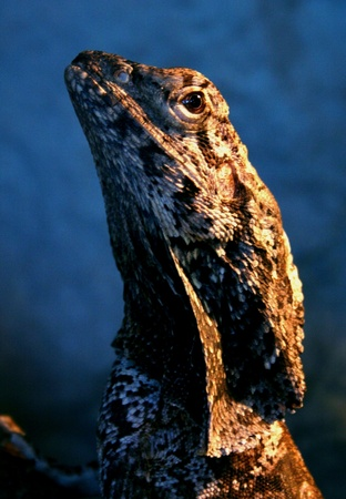 frilled: frilled lizard Stock Photo