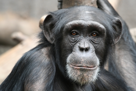 monkey face: chimpanzee