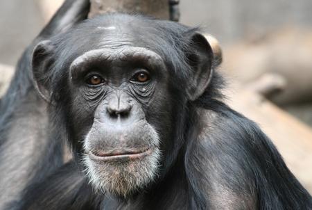 clowning: chimpanzee