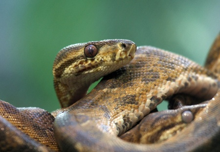 slither: emerald tree boa Stock Photo