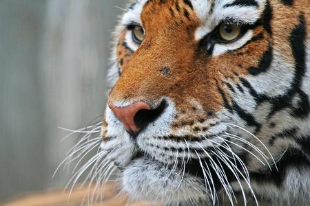 Tigerportrait 스톡 콘텐츠 - 11833259
