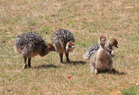 fledgling: ostrich fledgling