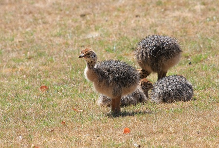 ostrich fledgling Stock Photo - 11833262