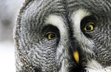 owl eye: great gray owl