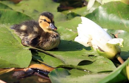 duckling: duckling