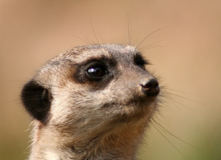 meerkat portrait photo