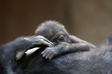 uganda: sleeping young mountain gorilla