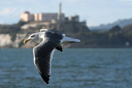 gaviota de Alcatraz photo