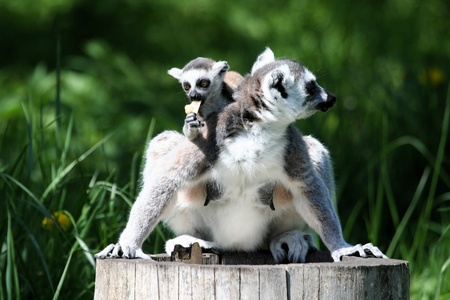 ring-tailed lemur Stock Photo - 11834172