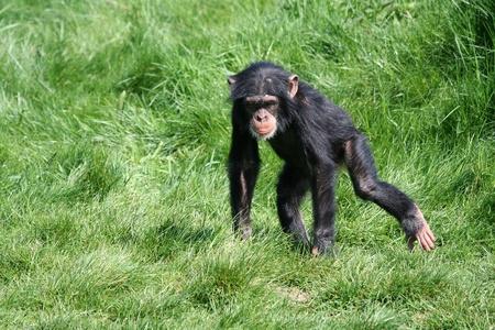 chimpanc� Foto de archivo