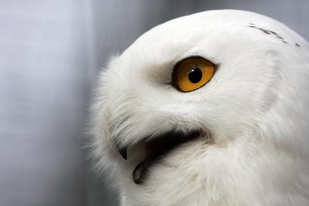 pervasive: snow owl