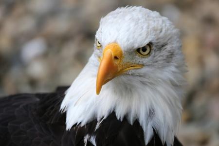 미국의 대머리 독수리의 초상화