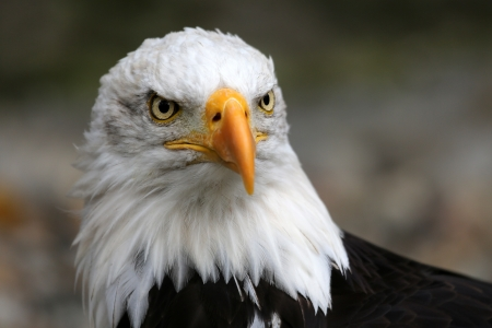 aguila calva: Retrato del águila calva americana