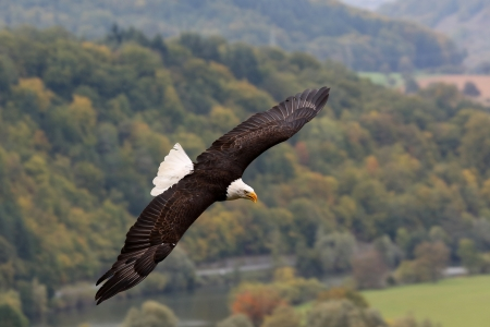 regal: flying Bald Eagle