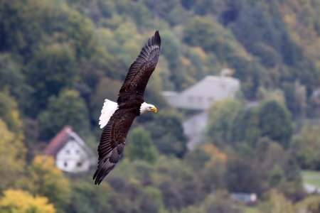 flying bald eagle photo