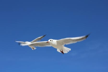 White Tern on blue sky